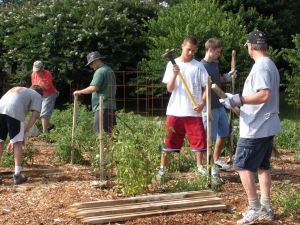Volunteers put in stakes to help support tomatoes